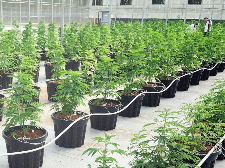 A cannabis producer in B.C. uses 90 per cent less electricity than conventional indoor greenhouses